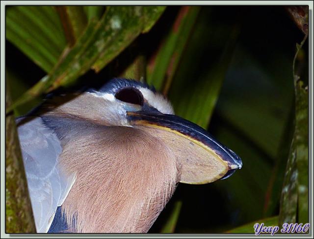 Blog de images-du-pays-des-ours : Images du Pays des Ours (et d'ailleurs ...), Héron à bec en bateau, Savacou huppé (Cochlearius cochlearius) - Tortuguero - Costa Rica