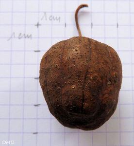 Aristolochia clematitis - aristoloche clématite