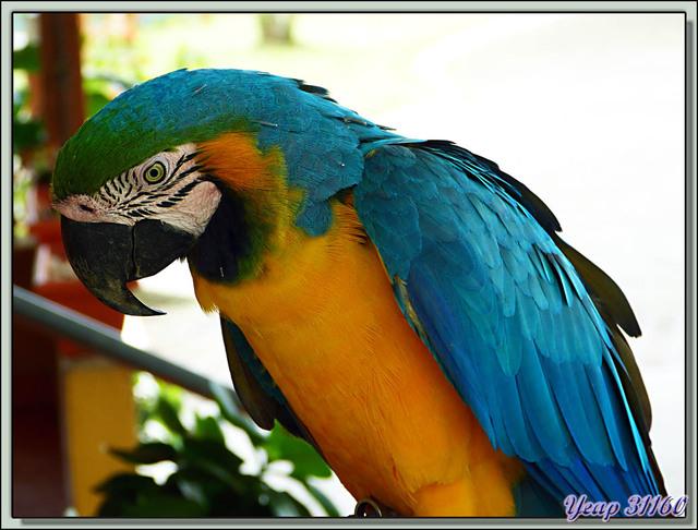 Blog de images-du-pays-des-ours : Images du Pays des Ours (et d'ailleurs ...), Ara bleu, Blue-and-yellow Macaw (Ara ararauna) - Arenal - Costa Rica