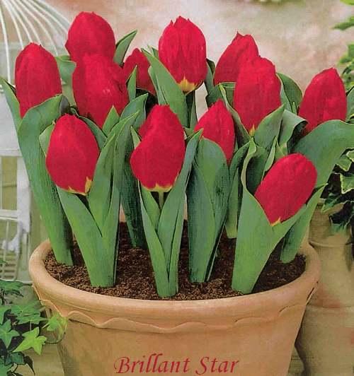 Plantes d'IntérieUr : TULIPA  (Liliacées)