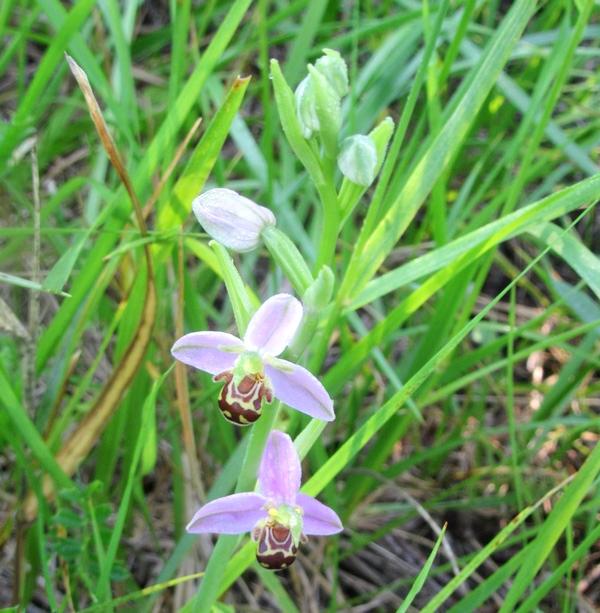 Une deuxième sortie botanique avec la Société Mycologique du Châtillonnais, nous a fait découvrir des orchis, mais aussi de merveilleux ophrys...
