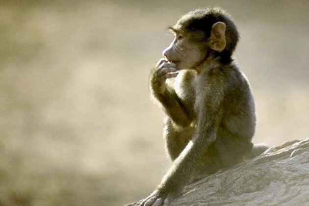 Le babouin