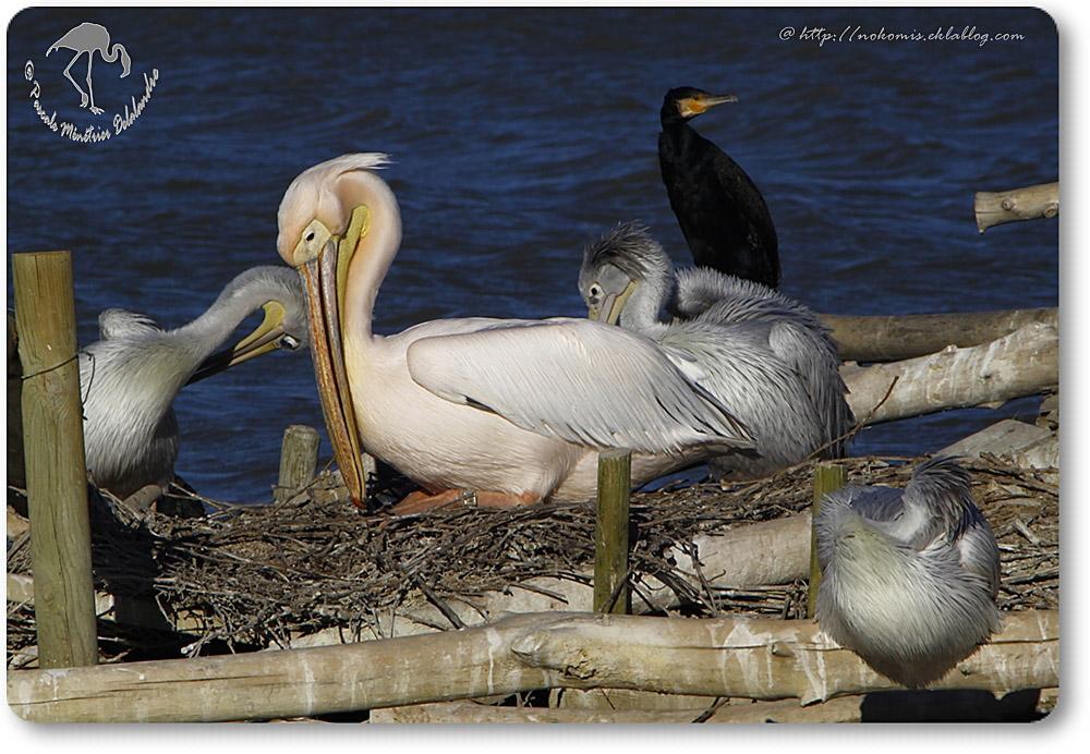 Pélicans et Grand Cormoran
