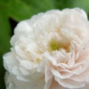 rosier little white pet - juin 2014 - rose sous la pluie