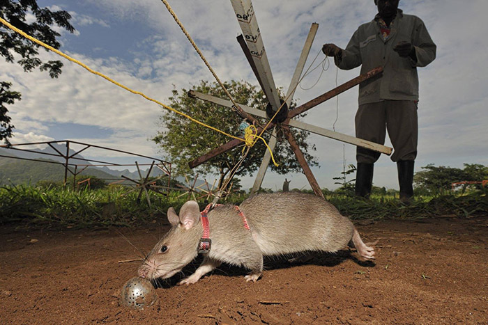 L'entraînement d'un rat est trois fois moins cher que l'entraînement d'un chien.