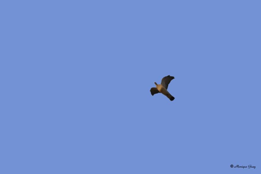 pigeon-ramier-1945.jpg