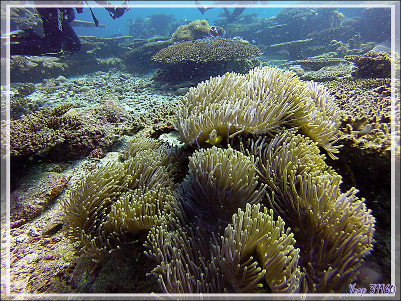 Anémone magnifique, Magnificent sea anemone (Heteractis magnifica) et son Poisson-clown mouffette ou à bande dorsale, Nosetripe clownfish (Amphiprion akallopisos) bien caché - Nosy Mitsio - Madagascar