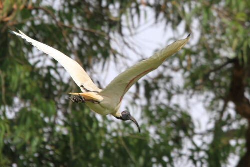 Ibis à Cou Noir (Australian White Ibis) Australie