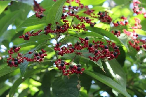 Les plantes tropicales de la tête d'or