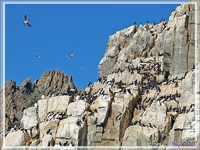 Revenons aux falaises de Cambridge Point avec leurs Guillemots de Brünnich - Coburg Island - Baffin Bay - Nunavut - Canada