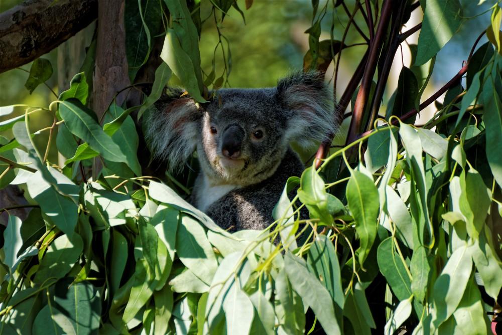 Ma première photo d'un Koala dehors