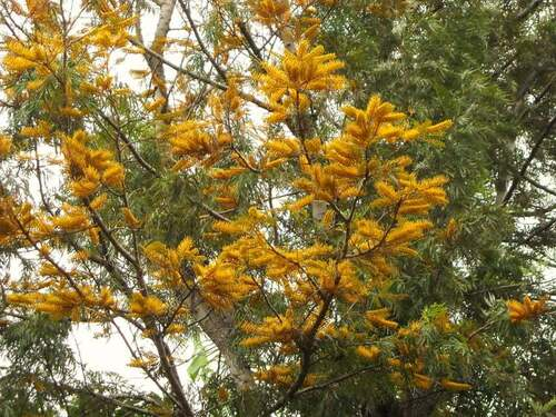 Fleurs cultivées : Grévilléa