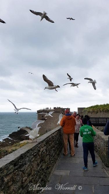 Bretagne : Saint-Malo, oiseaux marins