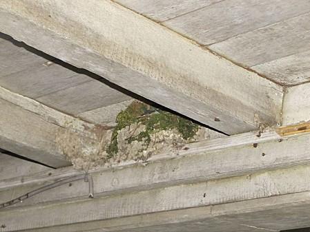 nid d'hirondelle (4)