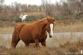 Cheval et Héron garde-boeufs