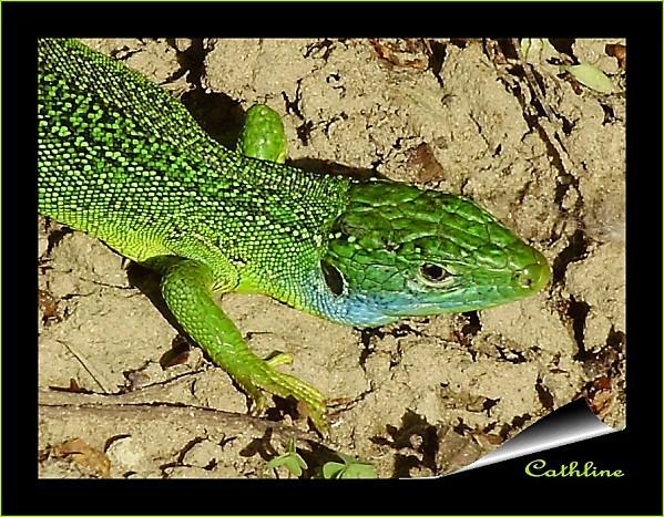 male-lezard-vert-copie-1.jpg