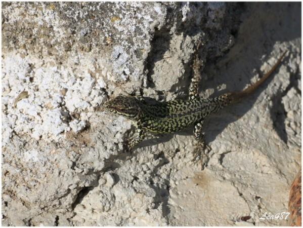 Reptiles-5733-Lezard.jpg