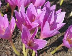 Les plantes vénéneuses,
