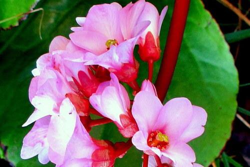 Fleurs du bergénia !