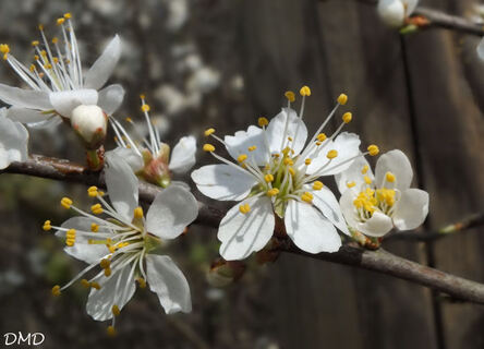 Prunus spinosa  -  prunellier