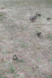 Femelle Colvert ou Anas Platyrhynchos et ses cannetons