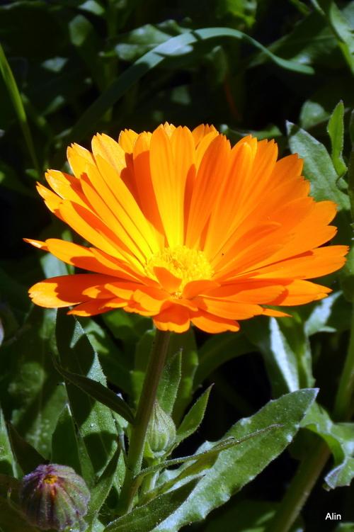 Entre jaune et orange : fleurs du souci !