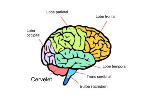 Quelles sont les parties et les fonctions principales du cerveau ?