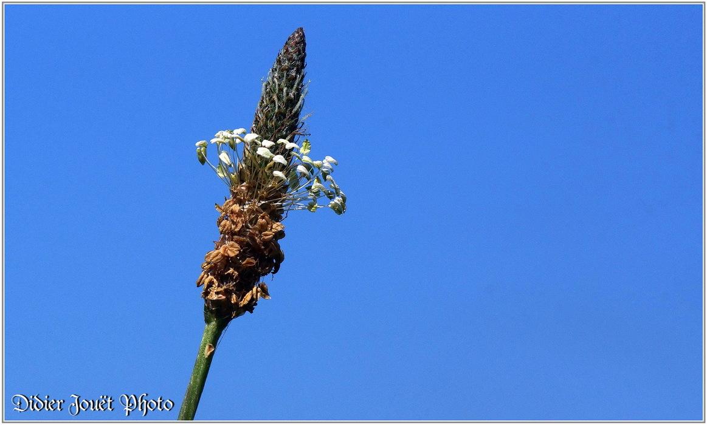 Plantain Lancéolé / Plantago lanceolata