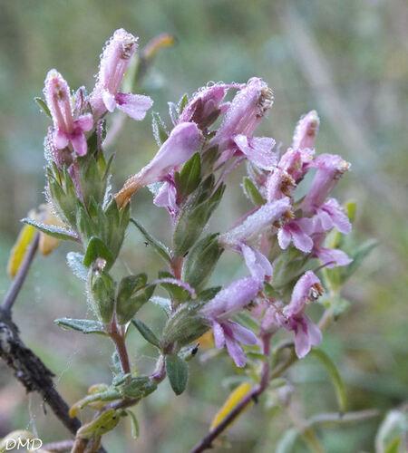 Odontites vernus subsp. serotinus  -  odontite tardif