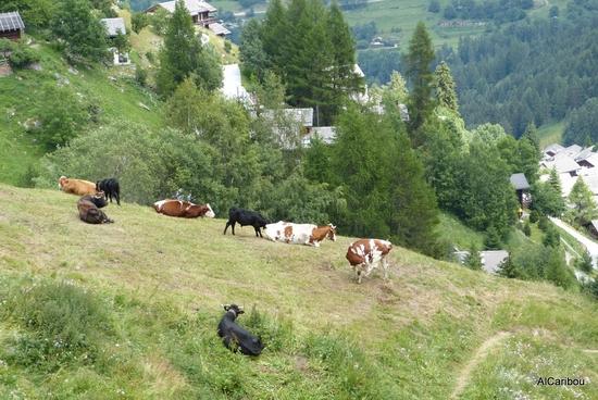 Vaches bigarrées