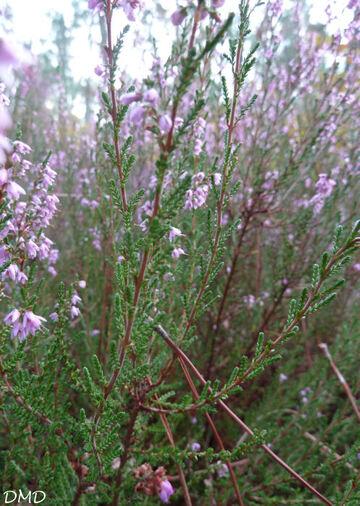 Calluna vulgaris  -  bruyère commune