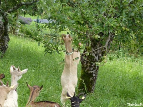 Les chèvres (4)