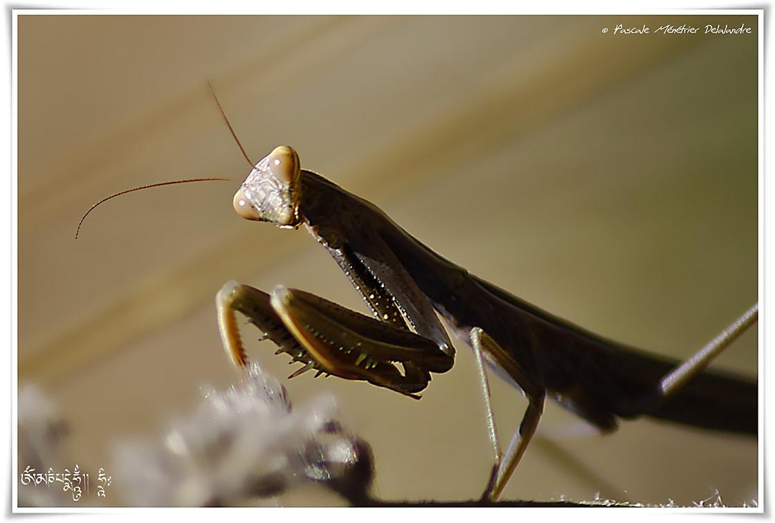 Mantis religiosa - Mante religieuse - forme brune