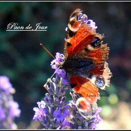 Paon de Jour ou Nymphalis Io aux ailes abimées