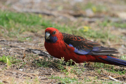 Perruche de Pennant (Crimson Rosella) Australie