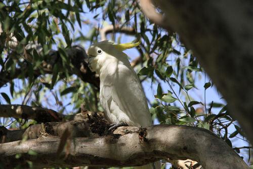 Cacatoès à Huppe Jaune (Sulphur-crested Cockatoo) NSW Australie
