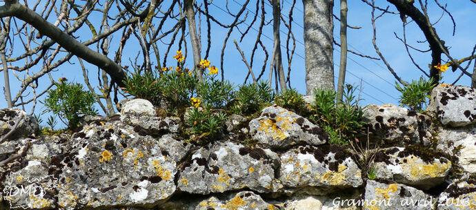 Erysimum cheiri  -  giroflée des murailles