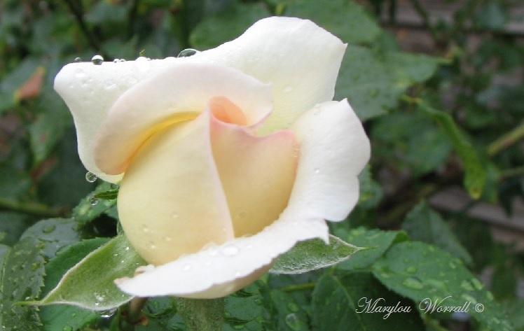 Ingersheim : Le jardin de Gaby après la pluie