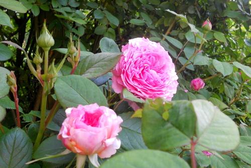 Une valeur sûre en rosier