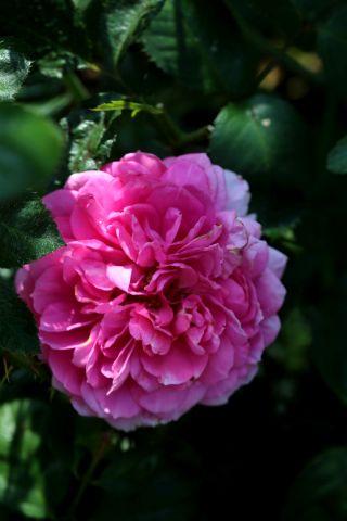 Les Roses de Warren : Xanthus