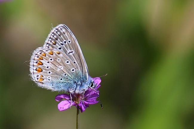 Argus bleu