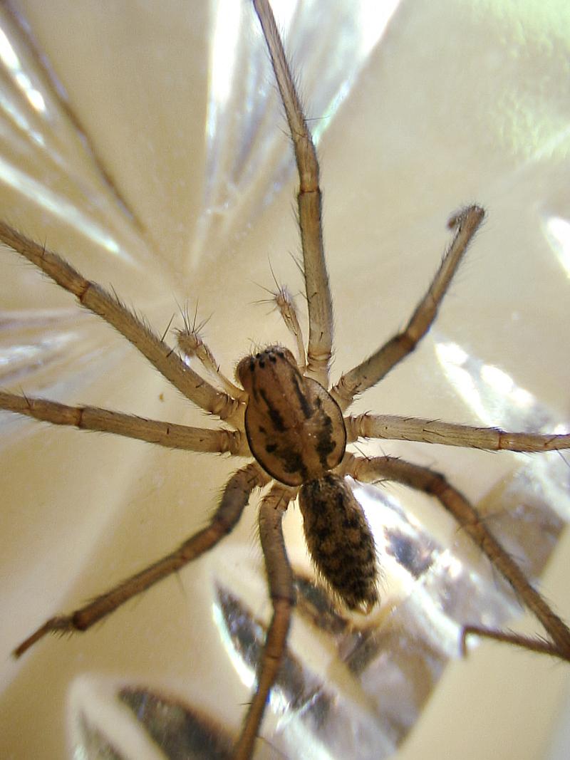 Superbe araignée avec juste assez de poils pour donner le frisson - Ile de Ré - 17  posté lemercredi 13 août 2008