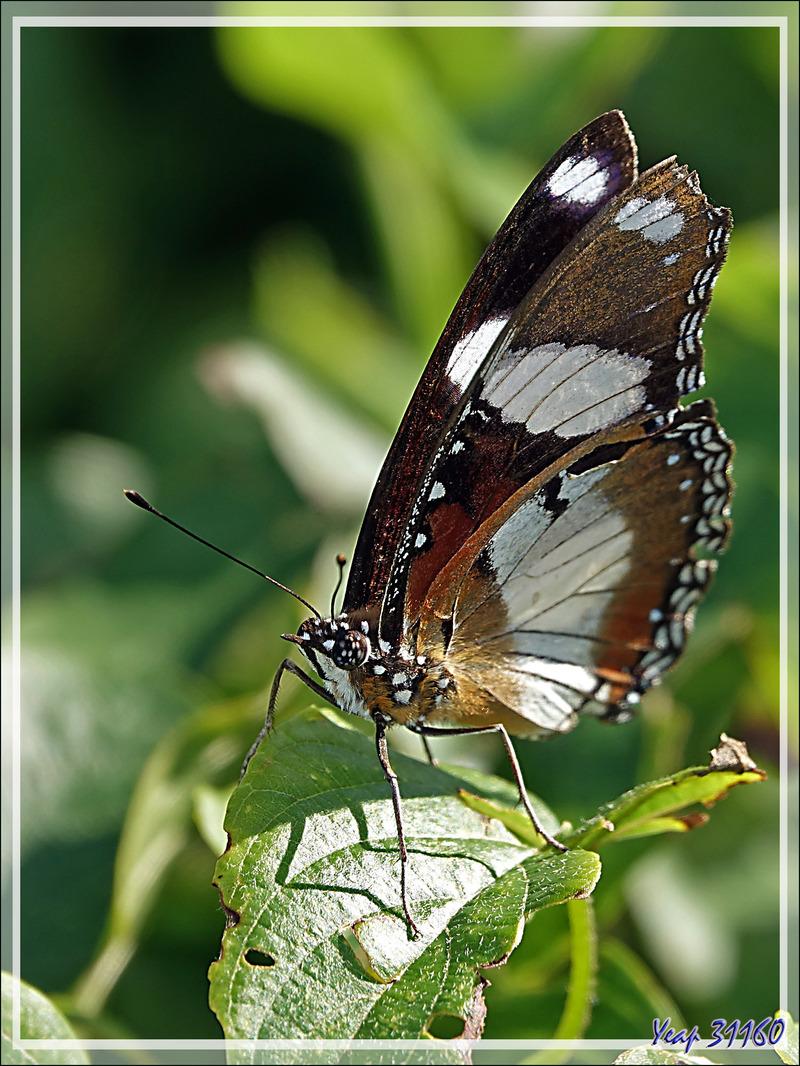 Papillon Diadème, Nymphale du pourpier, Danaid eggfly, Mimic, Diadem (Hypolimnas misippus) - Nosy Tsarabanjina - Archipel des Mitsio - Madagascar