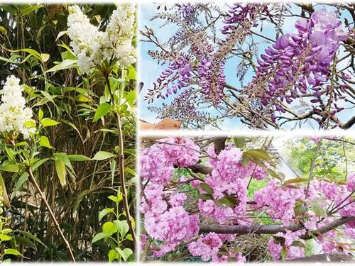 26 ème jour de confinement : les arbres en fleurs