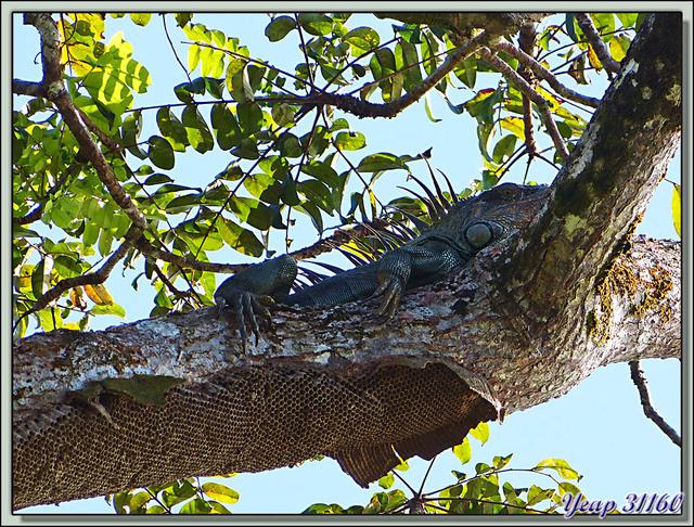Blog de images-du-pays-des-ours : Images du Pays des Ours (et d'ailleurs ...), Iguane vert (Iguana iguana) et guêpier - Tortuguero - Costa Rica