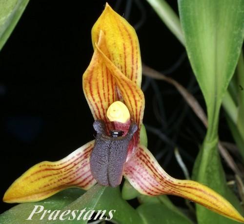 Maxillaria-praestans
