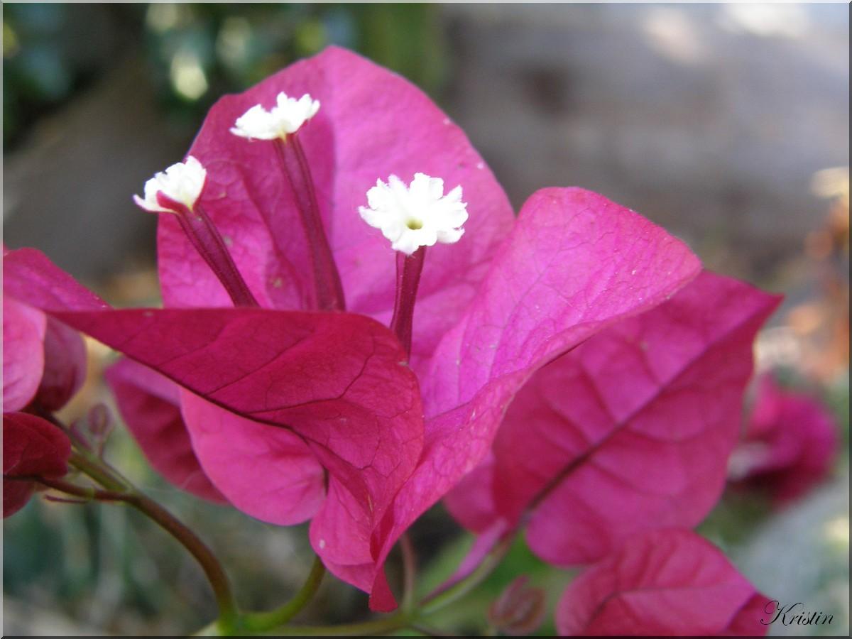 Bougainvillé en fleur