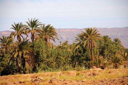 La palmeraie sur fond de djebel