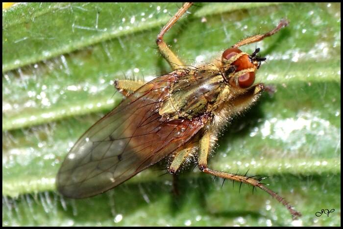 Scathophaga stercoraria.