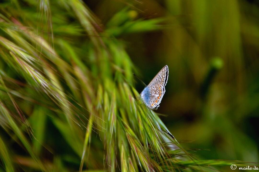 Papillon ©maiteds